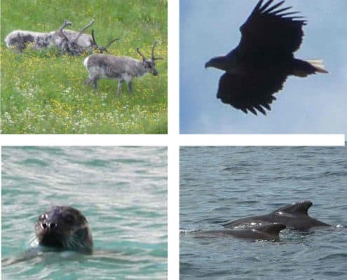 Reindeer, Sea Eagle, Otter and Pilot Whales wildlife around the Arctic Circle, Norway
