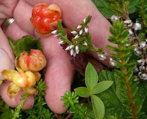 Cloudberries, Lofoten, Norway