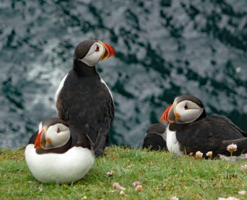Puffins on the cliffs Fair Isle