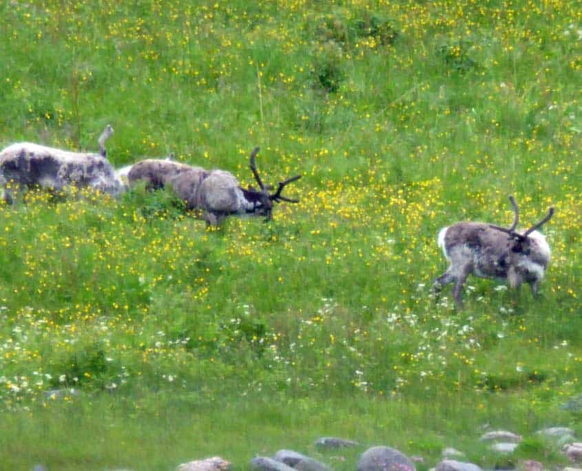 Reindeer graxing along the fjord edge, Norway