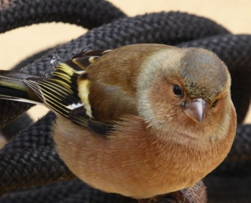 A chaffinch has landed on ropes on a sailng ship offshore - close up