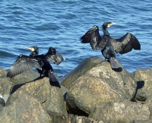 Cormorants drying themselves on the rocks