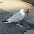 A seagull tries to eat a starfish. Are starfish even edible?